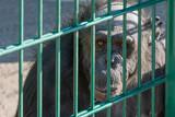 Monkey chimpanzee behind bars. Sad smothered. An animal in captivity. - 172820233