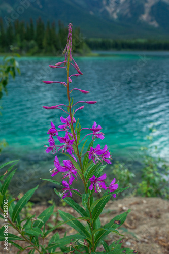 Fotobehang Groen blauw Fireweed an malerischem See am Cassiar Highway, British Columbia