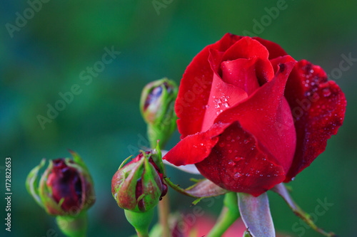 red-rose-in-the-garden
