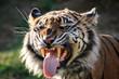 Sumatran Tiger Air-Scenting and Looking Fierce