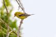 Toronto, Canada: Yellow American goldfinch bird perch in bush