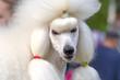 Dog Poodle close-up