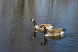 Two Canada geese swimming on a pond - 172835032