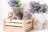 Kittens in a wooden box. Lavender flowers in the background