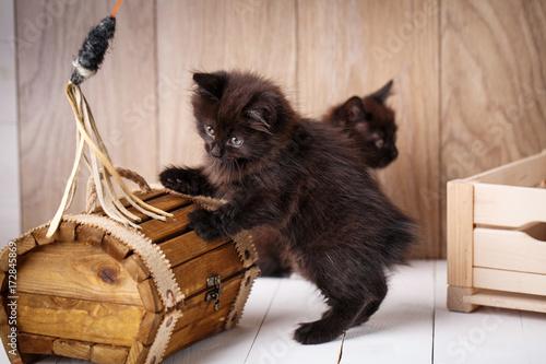 Kurilian Bobtail kittens Poster