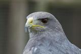 photo portrait of a Grey falcon - 172846883