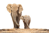 African elephant (Loxodonta africana) family on a white background. - 172853061
