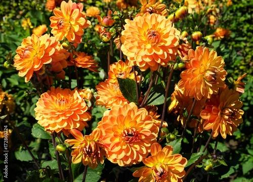 Beautiful dahlia flower in a botanical garden in summer