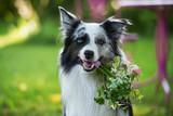 Hund hält Blumenstrauß im Maul