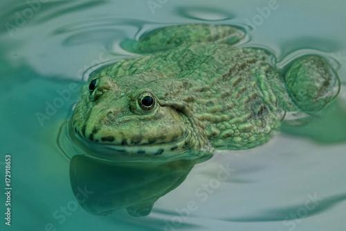 Fotobehang Kikker Frog in a water