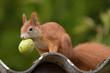 Leinwanddruck Bild - Eichhörnchen mit Nuss