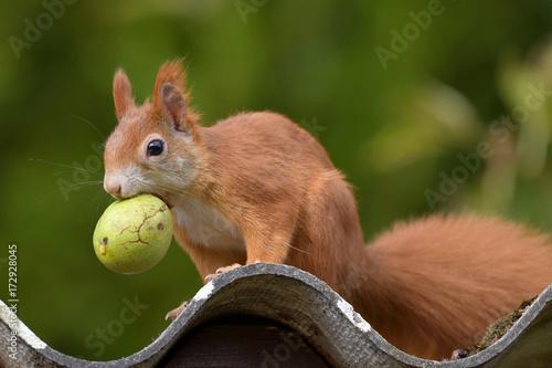 Leinwanddruck Bild Eichhörnchen mit Nuss