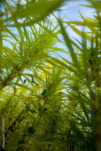 Foto op Aluminium Gras Hanfpflanzen unter freiem Himmel