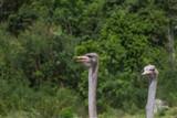 ostrich bird head portrait - 172962897