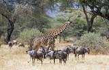 Giraffe and gnus taken in Tarangire national park