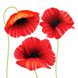 Beautiful, realistic poppy flowers (poppies) set. Isolated on white background. Vector illustration