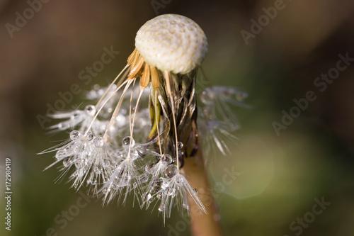Fotobehang Paardebloemen close up of water drops on dandelion