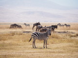 zebras and wildebeests at Ngorongoro Conservation Area, Tanzania, Africa
