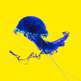 Blue Jellyfish on a yellow abstract background. Minimal art design - 172992815