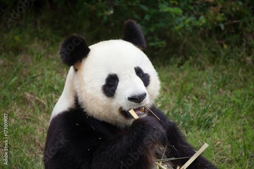 Fotobehang Panda Giant panda (Ailuropoda melanoleuca).