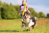 Australian Shepherd dog runs to retrieve a toy - 173132206
