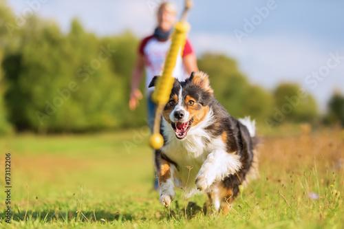 Fototapeta Australian Shepherd dog runs to retrieve a toy