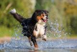 Australian Shepherd dog runs through the water - 173132616