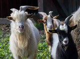 Goats in farm. - 173158493