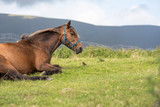 Brown stallion horse laying on the grass