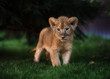 African Lion cub, South Africa