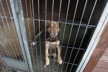 brązowy pies opierający się o kraty w schronisku