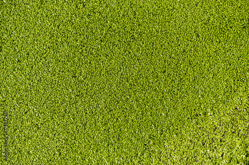 detail of pond surface, green from frogs