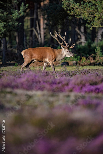 Red deer stag (cervus elaphus) lit by low sunlight in blooming moorland.