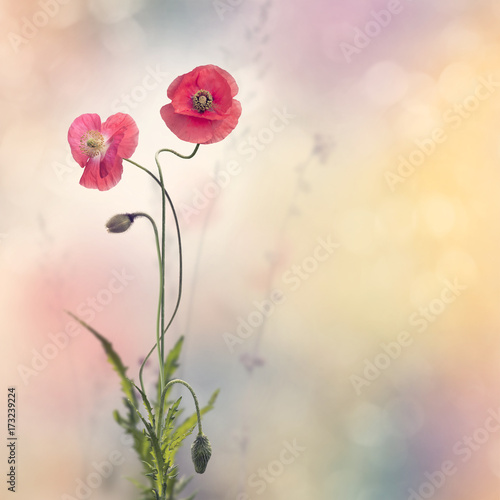 Red poppy flowers buy photos ap images detailview red poppy flowers mightylinksfo
