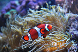 orange clown fish in the coral reef - 173260288