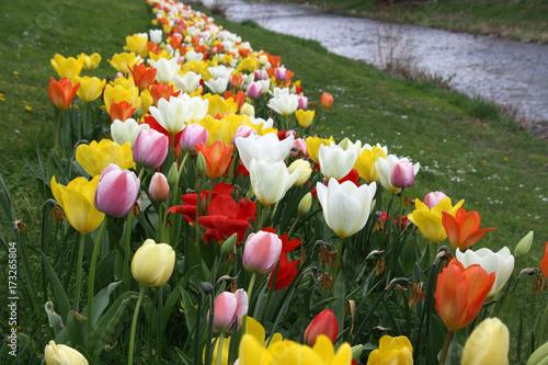 Fotobehang Tulpen bunter Tulpengürtel, Tulpenfeld im Mai