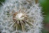Macro shot of dandelion seeds. Dandelion seeds on wind