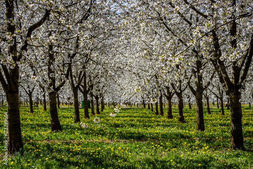 A beautiful meadow full of blossom cherry trees in Markgräferland Poster