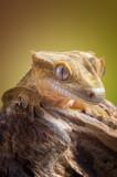 Crested gecko/Correlophus ciliatus closeup