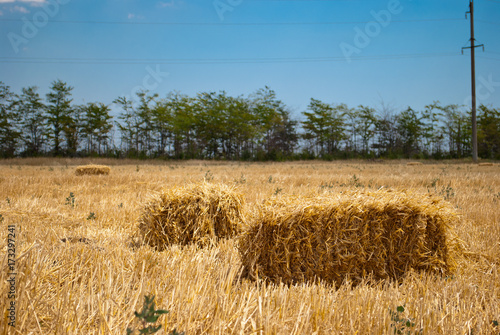 Foto op Aluminium Blauw Rectangular yellow haystacks from hay dry straw mown grass lying on a field in a bright summer sunny day, against a blue sky with clouds and green trees