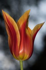 Etherial Tulip
