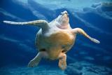 Leatherback Turtle Swimming - 173317865