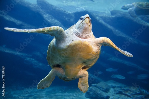 Leatherback Turtle Swimming Poster