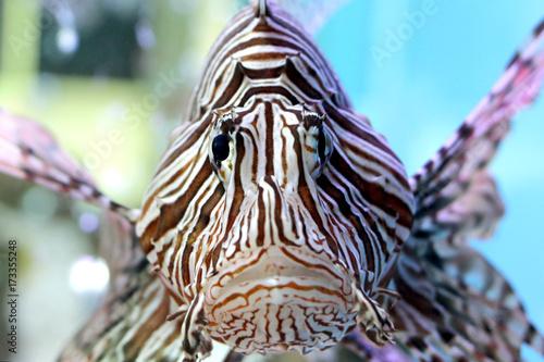 beautiful lionfish in the aquarium Poster