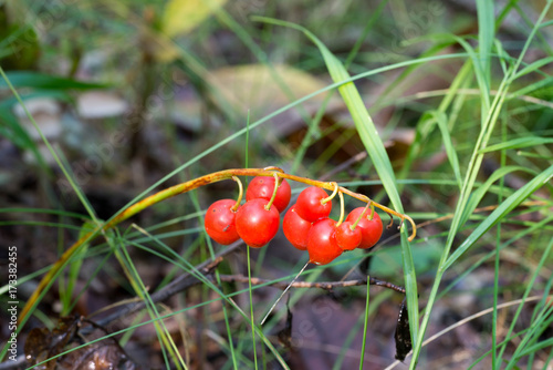 Foto Spatwand Lelietjes van dalen red poisinous lily-of-the-valley berries