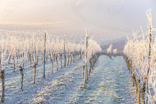Fotobehang Wijngaard Winter und morgendlicher Bodenfrost im Weinberg