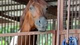 Pinto horse portrait - 173433450