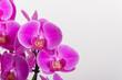 Orchideen isoliert auf weiss