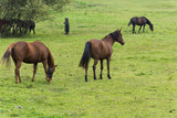 Brown horses on grazing land with green grass.