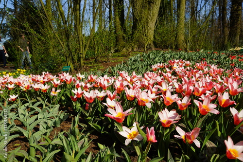 Group of tulips Poster